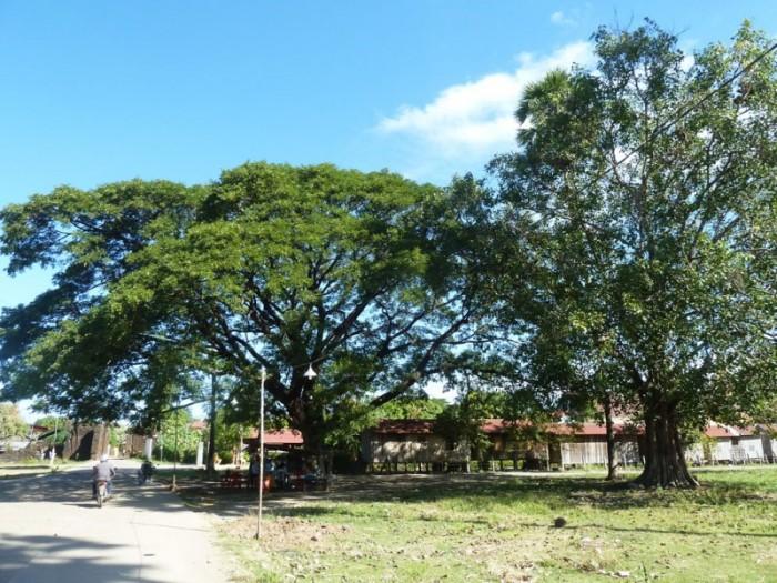 kampong cham arbre